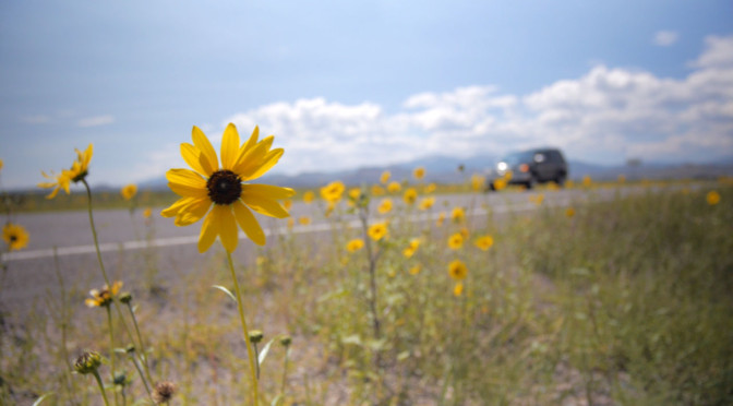 A sunflower by the side of the road in Colorado.