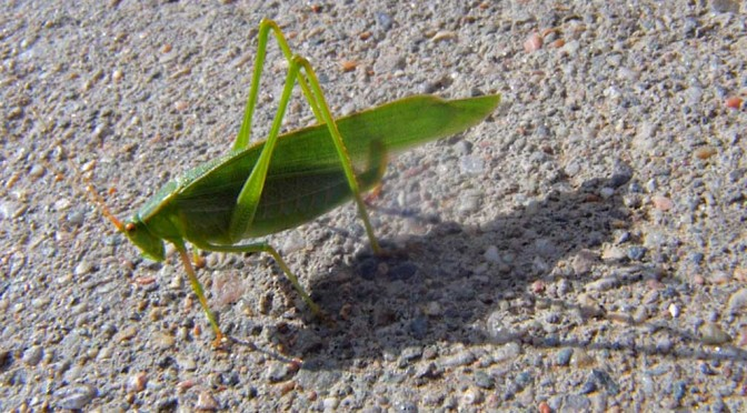 Close-up of a Katydid, basking in the Colorado sun.